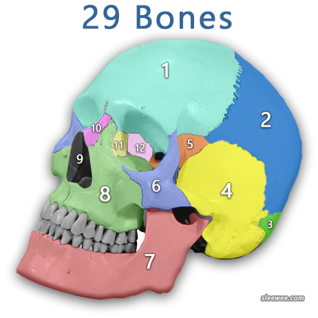 A Human Skull Illustration Showing Labeled and Numbered Bones of the Skull